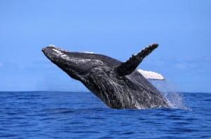 balena_madagascar_n