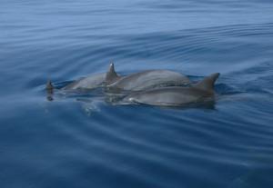 madagascar_delfini_n